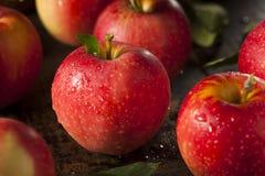 未加工的有机红色节目苹果 免版税库存图片