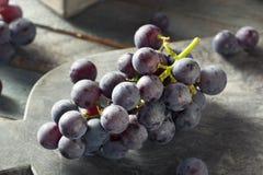 未加工的有机紫色康科德紫葡萄 库存图片