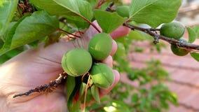 未加工的果子杏树、酸原油和杏子,特写镜头充分杏子果树园树, 股票录像