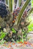 未加工的棕榈油果子 库存图片