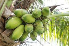 未加工的椰子 库存照片