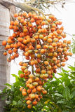 未加工的槟榔子树 库存图片