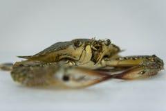 未加工的螃蟹关闭在白色背景 库存图片