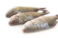 未加工的被剥皮的鲤鱼 免版税图库摄影