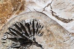 未加工的裁减木白杨树树干有抽象形式形状样式主题背景 免版税图库摄影
