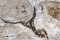 未加工的裁减木白杨树树干有抽象形式形状样式主题背景 免版税库存照片