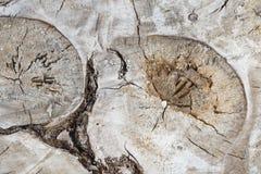 未加工的裁减木白杨树树干有抽象形式形状样式主题背景 图库摄影
