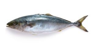 未加工的金枪鱼 免版税库存图片