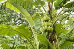 未加工的香蕉在树 免版税库存图片