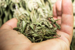 未加工的医疗大麻 免版税库存图片