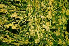 未加工的医疗大麻 库存图片