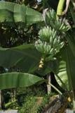 未加工的绿色香蕉 库存照片