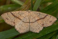 未婚的脸红(Cyclophora punctaria)飞蛾 库存照片