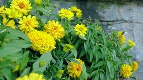 年轻未成熟的向日葵 在花附近的照相机运动提供razglyatet它从所有边 股票录像