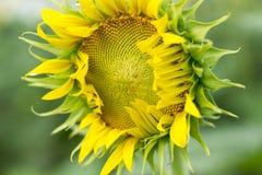 未成熟的向日葵 免版税库存图片