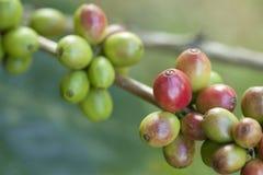 未成熟的咖啡豆 库存照片