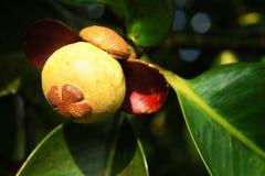 未成熟的新鲜的山竹果树(藤黄mangostana Linn) 免版税库存图片