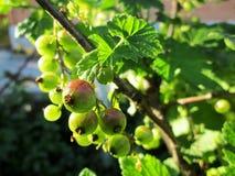 未成熟的无核小葡萄干 库存图片