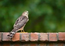 未成熟的木桶匠鹰& x28; 鹰类cooperii& x29; 库存照片