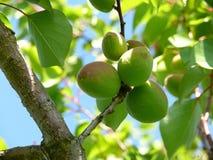 未成熟的杏子 免版税库存照片