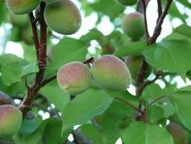 未成熟的杏子 库存照片