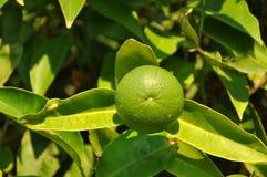 未成熟的柠檬果子 免版税库存图片