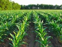 未成熟的玉米 免版税库存照片