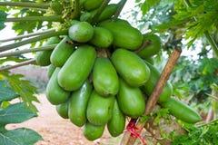 未成熟的番木瓜在农场 免版税库存照片