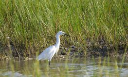 未成熟的白色小的蓝色苍鹭,希尔顿黑德岛 库存照片