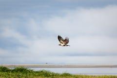 未成熟的白头鹰在飞行中在盐沼和海滩 免版税库存图片