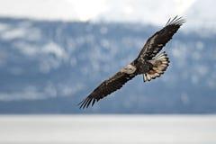 未成熟的白头鹰在飞行中在阿拉斯加 免版税库存照片