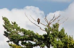 未成熟的白头鹰 图库摄影