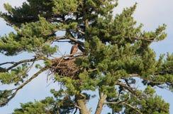 未成熟的白头鹰 免版税图库摄影