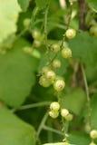 未成熟的红浆果 免版税库存图片