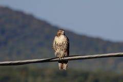 未成熟的红色在导线的被盯梢的鹰 免版税库存照片