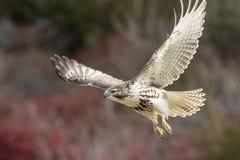 未成熟的红色被盯梢的鹰离开 免版税图库摄影