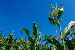 未成熟的绿色年轻玉米穗在明亮的天空蔚蓝前面的晚夏 库存照片