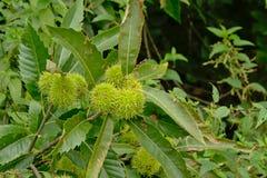 未成熟的绿色欧洲栗木结果实并且留给-栗属漂白亚麻纤维 免版税库存图片