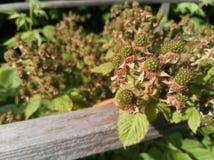 未成熟的绿色黑莓在庭院里 库存照片