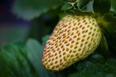 未成熟的草莓 库存图片