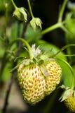 未成熟的草莓 库存照片