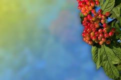 未成熟的荚莲属的植物束 免版税库存照片