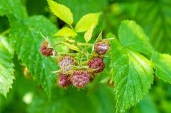 未成熟的莓在庭院里 免版税库存照片