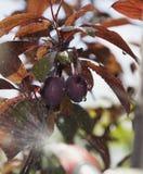 未成熟的莓果红色李子是被处理的杀虫剂 免版税库存照片
