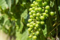 未成熟的葡萄 库存图片