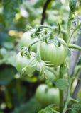未成熟的蕃茄在庭院里 免版税库存照片