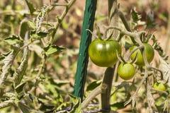 黑未成熟的蕃茄 生长蔬菜 蕃茄新的品种  靛蓝上升了 免版税库存图片