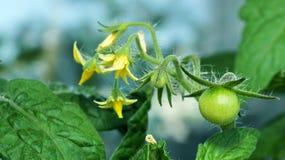 未成熟的蕃茄 库存照片