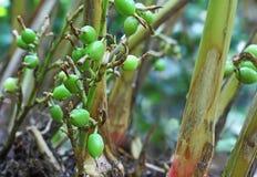 未成熟的豆蔻果实荚在植物中 免版税库存图片