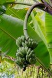 未成熟的香蕉在密林,泰国 免版税库存图片